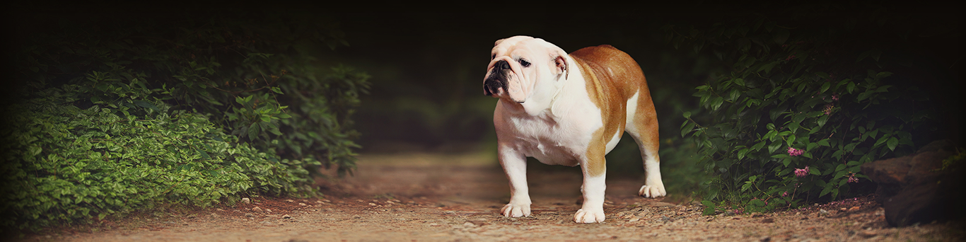 Peres Bulldogs on Broadway - English Bulldog Breeders