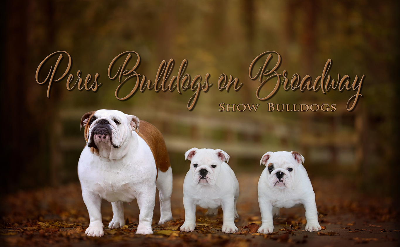 Peres Bulldogs on Broadway - Show English Bulldogs